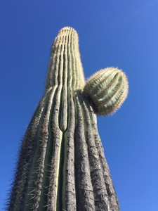 The cactus at McDowell Mountain Regional Park