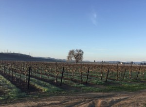 Doesn't matter what the groundhog says. It's not spring until green leaves appear on the vines.